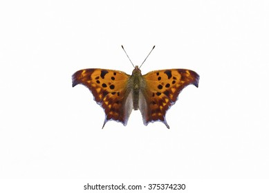 Question Mark Butterfly, Polygonia interrogationis, isolated on a white background