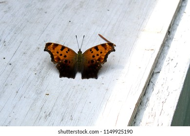 Question Mark (Polygonia interrogations) Buttefly Resting on White Painted Wood Platform