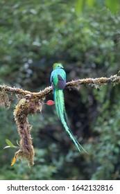 Quetzal bird from Costa Rica mountains