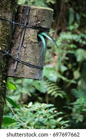 Quetzal bird wild in Monteverde cloud forest reserve Costa Rica