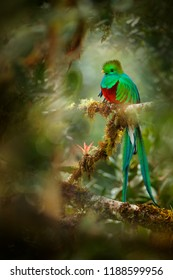 Quetzal in Costa Rica with green forest in background. Magnificent Resplendent quetzal sacred green and red bird. Detail portrait of beautiful tropic animal in jungle. Beautiful bird with long tail.