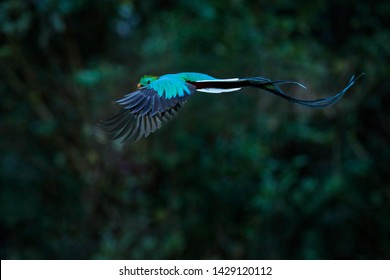 Quetzal, Pharomachrus mocinno, Costa Rica, with green forest in background. Magnificent sacred green and flying  red bird. Action fly moment with Resplendent Quetzal, beautiful exotic tropic bird.