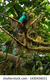 Quetzal (Pharomachrus mocinno) male perching on a branch