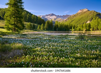 Queyras Nature Park with Lac de Roue lake covered with bogbean late Spring. Arvieux, Hautes-Alpes, French Alps, France