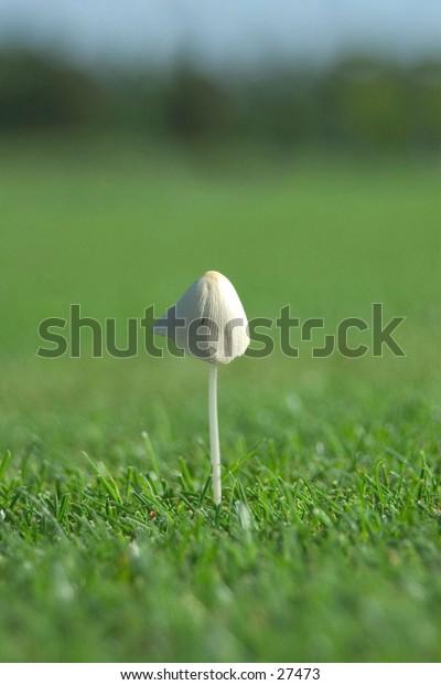 Quick growth mushroom