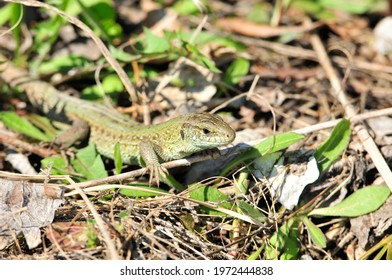 A quick lizard, or a nimble lizard, or an ordinary lizard (lat. Lacerta agilis) is a species of lizards from the family of real lizards.