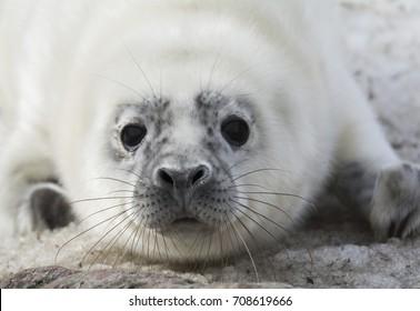 Quickly melting ice brings Gray Seal pups to Estonian coast.