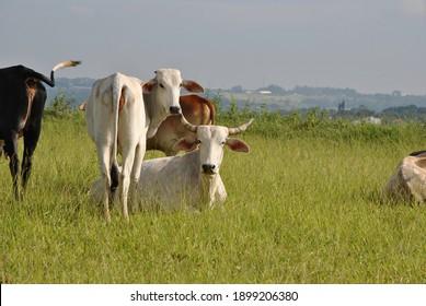 quiet brazilian nelore cows grazing
