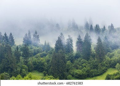 quiet fir tree forest in a mist
