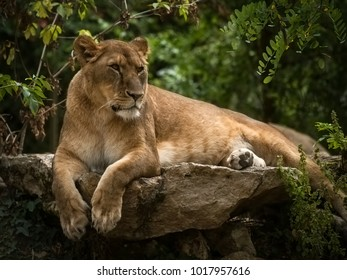 A quiet lioness