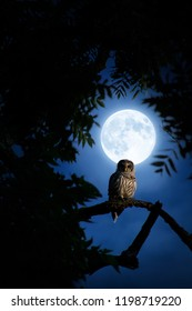 A quiet night, a bright moon rises, illuminating the darkness, and a Barred Owl sits motionless in the blue moonlight.