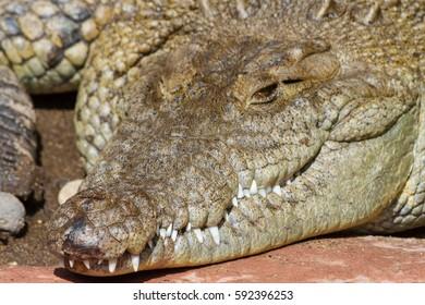 Quiet and still alligator head closeup
