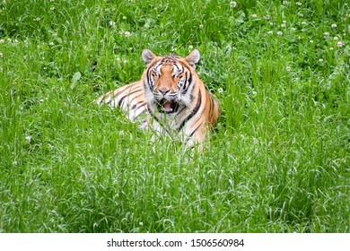 A quiet tiger in the field