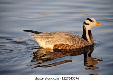 Quietly swimming waterfowl