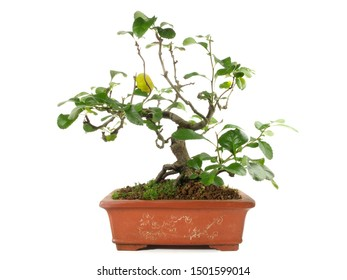 Quince Bonsai with Fruits on white Background