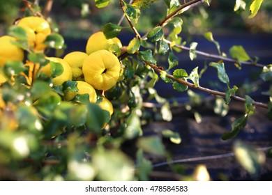 Quince bush.Fruiting quince shrub.