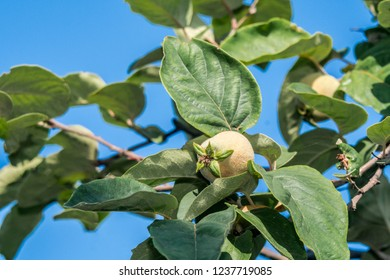 Quince (Cydonia oblonga) in orchard, Republic of Dagestan, Russia