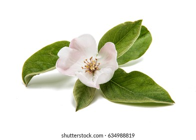 Quince flower on a white background
