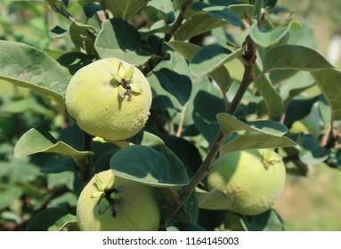 Quince fruit in garden