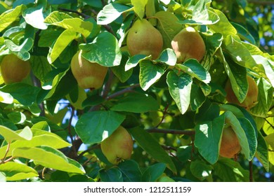 Quince fruit on tree. Quince on branch on an summer day. Fresh quince.