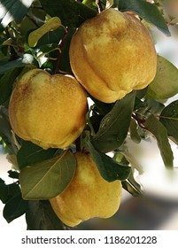 Quince with quince leaf