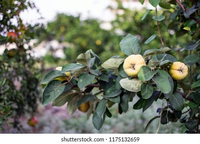 Quince on a tree ready for harvest.