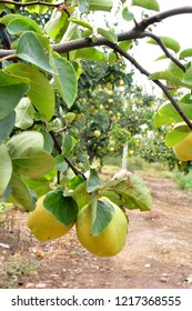 quince. Orchard. orchard quince. quince garden. large quince