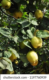 Quince. Orchard. quince tree. orchard quince. garden quince big apples