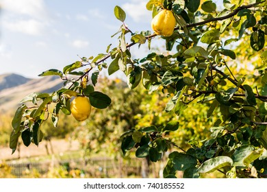 Quince tree with two fresh fruits