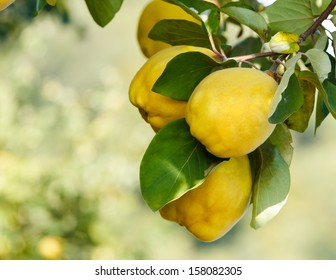 Quinces. Quinces on tree with beautiful bokeh.  Copy space composition. Shallow DoF