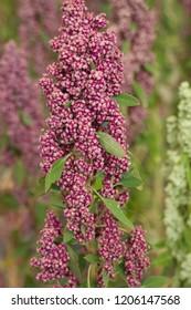 quinoa field flowering