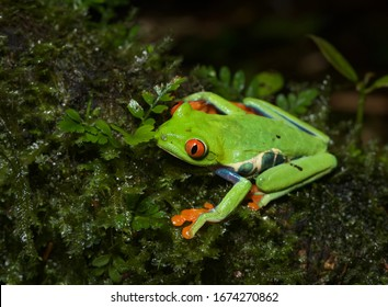 The quintessential rainforest animal, the Red Eyed Tree Frog is one of the most colorful and beautiful creatures in Costa Rica.