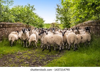 Quirky, funny scene of sheep on farm path