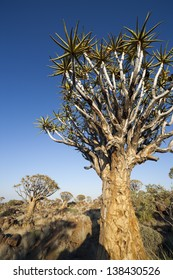 Quiver (kokerboom) tree forest. Namibia. Fantastic landscapes of Africa.