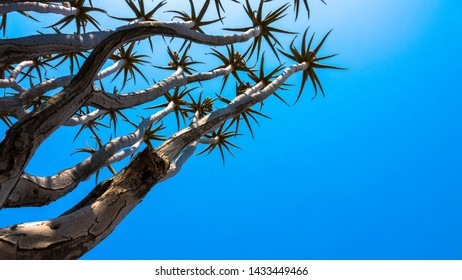 Quiver tree with blue sky - Namibia Africa