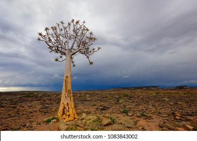 Quiver tree in the Fish River Canyon