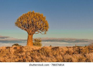 Quiver tree with flowers north-east of Keetmanshoop, Namibia. Quiver tree is Aloe dichotoma tree species that are scattered amongst dolerite rocks.