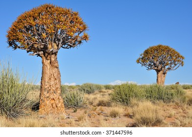 Quiver tree forest landscape, Namibia