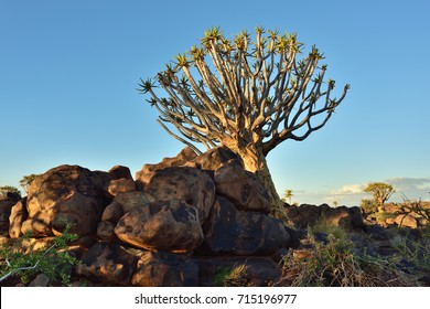 Quiver Tree Forest outside of Keetmanshoop, Namibia. Magical trees against mystical sunset