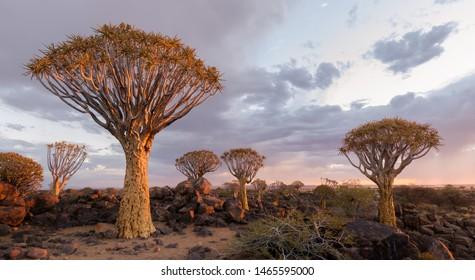 The Quiver Tree Forest in Southern Namibia illuminated by the sunset.