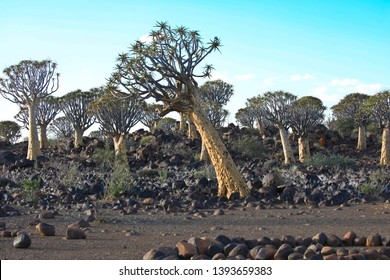 Quiver tree leaning over, Keetmanshoop Quiver tree forest Namibia