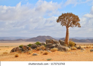The Quiver Tree: Namaqua Icon