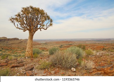 Quiver Tree on the Namaqua Plains