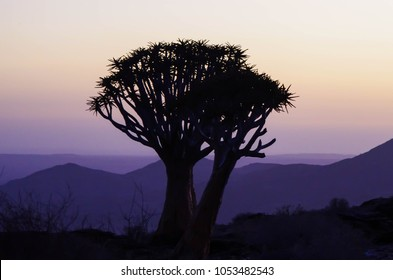 Quiver tree silhouette at dusk in Namibia