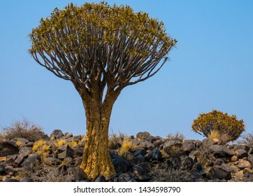 Quiver trees in the bush, Namibia