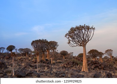 Quiver trees forest on blue sky background, african landscape in Keetmanshoop, Namibia