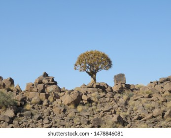 Quiver trees in the quiver tree forest in rocky area close to Keetmanshoop Namibia