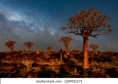 The quivertrees with galaxy in Quivertree Forest Rest Camp, Keetmanshoop of Namibia.