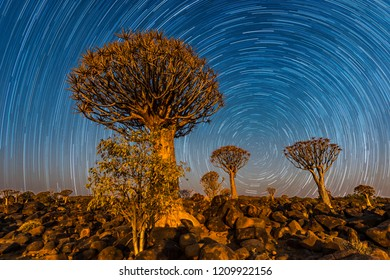 The quivertrees with star trails in Quivertree Forest Rest Camp, Keetmanshoop of Namibia.
