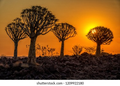 The quivertrees under sunset in Quivertree Forest Rest Camp, Keetmanshoop of Namibia.